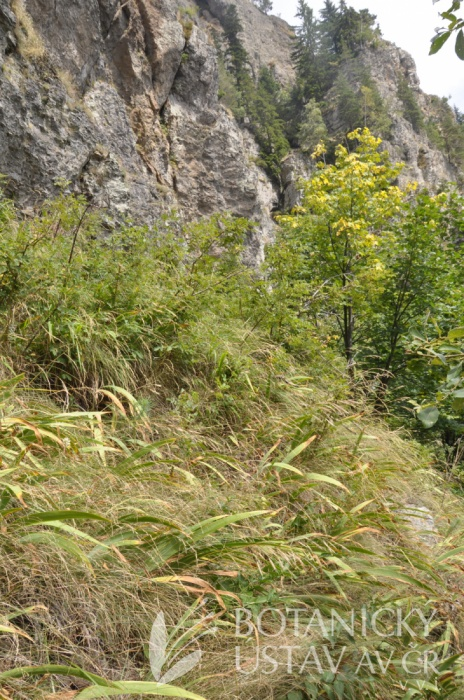 typová lokalita Iris aphylla dacica, Cozia, Rumunsko (1)