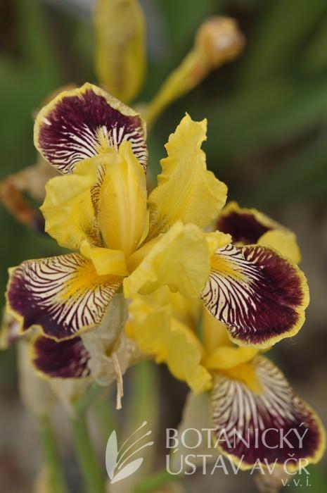 Iris barbata elatior Welch s reward (10)