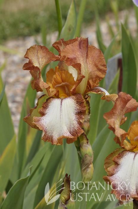 Iris barbata elatior Wild Apache (181)