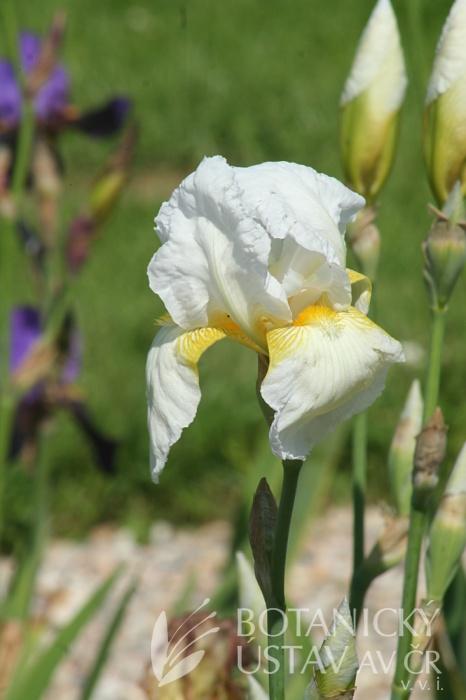 Iris barbata elatior Winter Carnival  (3)