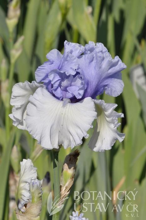 Iris barbata elatior Wintry Sky (32)