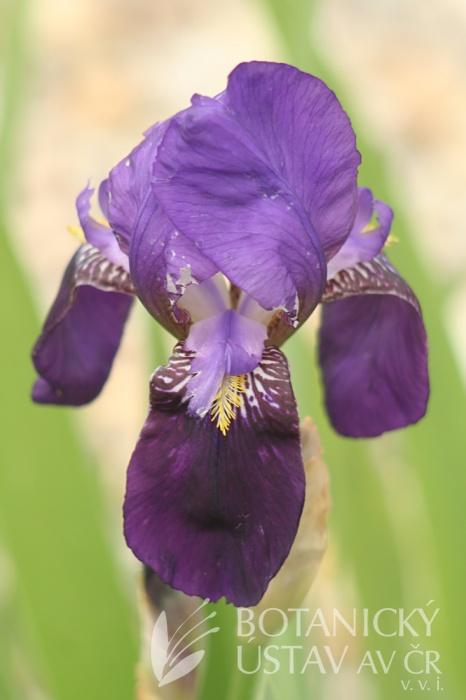 Iris barbata media King George  (3)