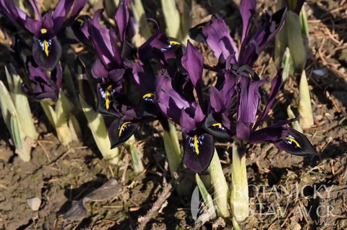 Iris histrioides George (1)