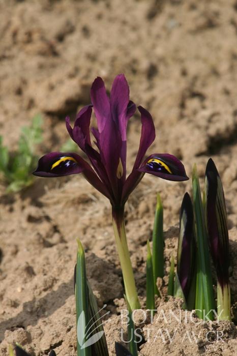 Iris hystrioides George (3)