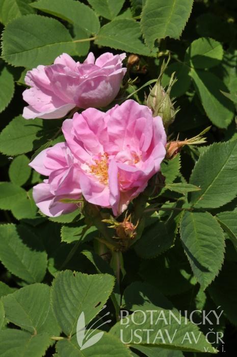 Rosa Rose des Quatre Saison