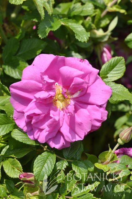 Rosa Roseraie de L Hai