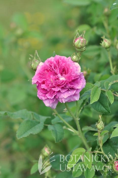 Rosa Belle de Crecy
