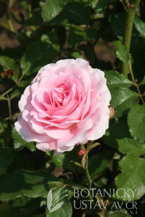 Rosa Carol