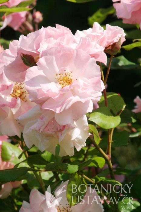 Rosa Clair Matin