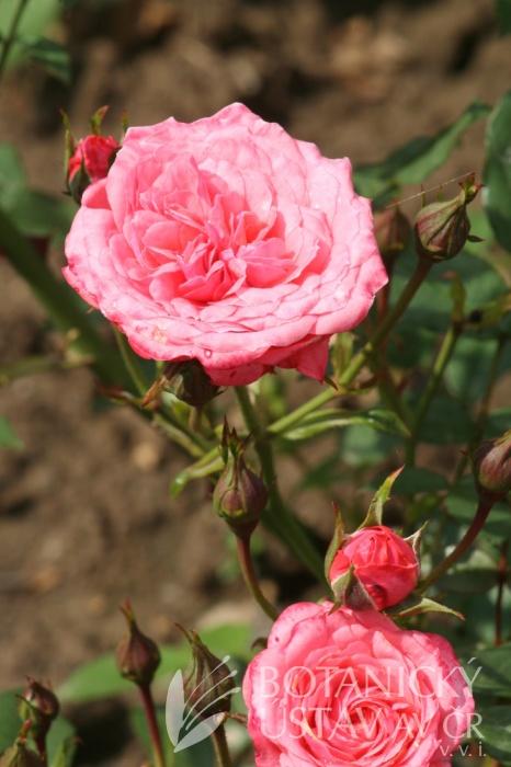 Rosa Cri Cri