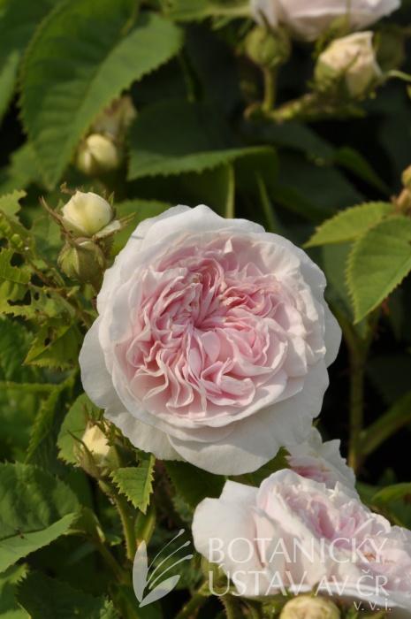 Rosa Félicité Parmentier