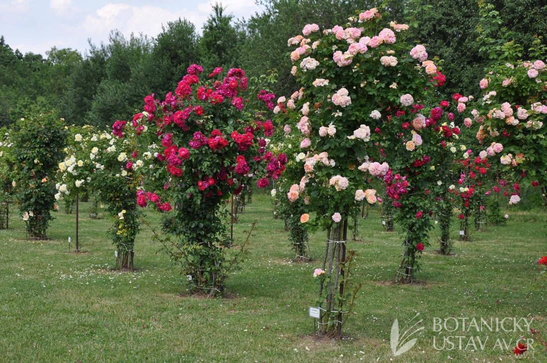 expozice popínavých růží