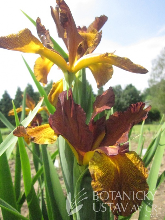 Iris spuria Bronzová ozdoba