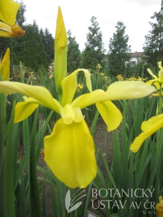 Iris spuria Citrónová pěna