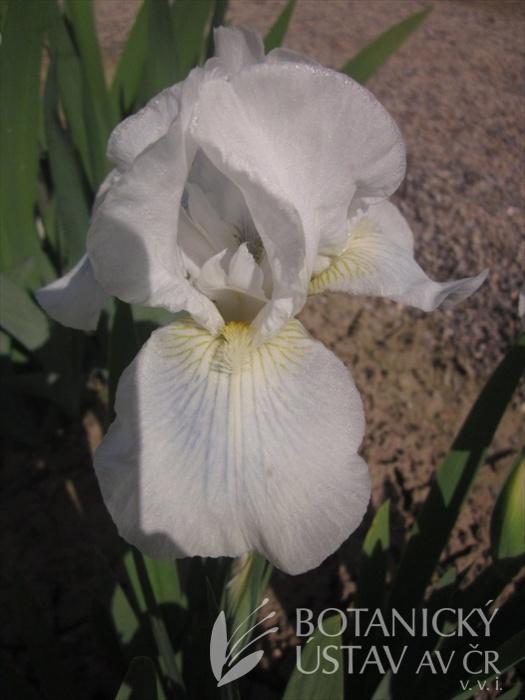 Iris barbata media Cutie