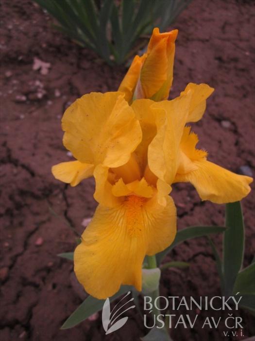 Iris barbata media Dandelion