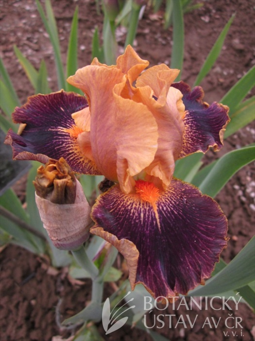 Iris barbata media Delirium