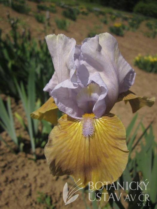 Iris barbata media Eleanor Clare