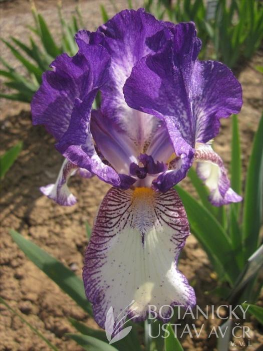 Iris barbata media Kontiki
