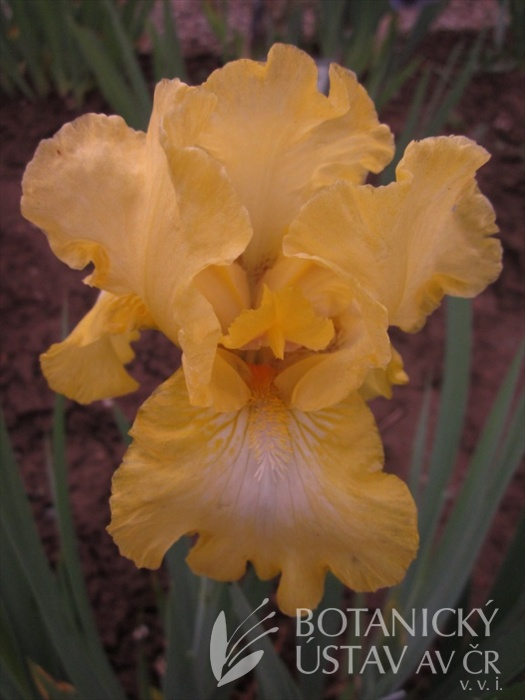 Iris barbata media Lemon Pop