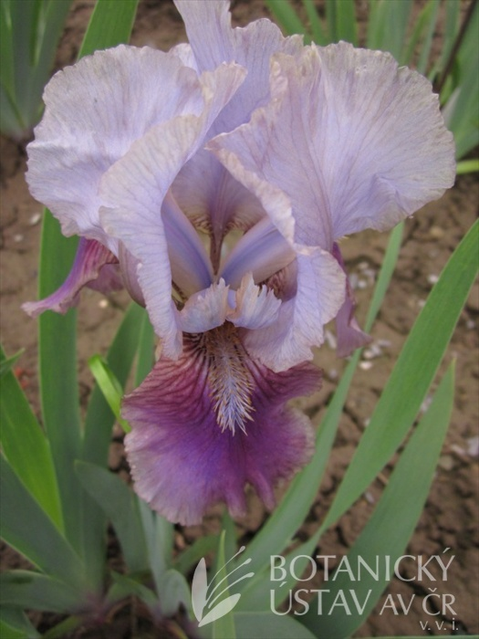 Iris barbata media Liky 6, 7