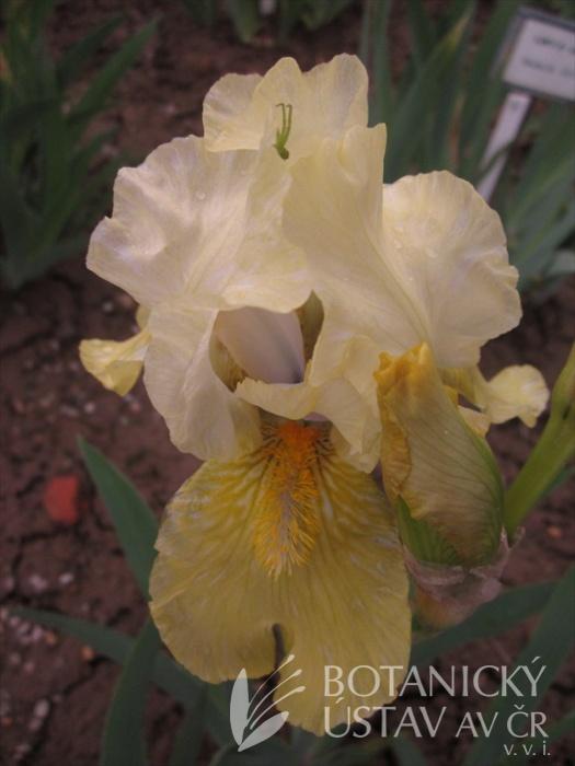 Iris barbata media Liky - ž - bit