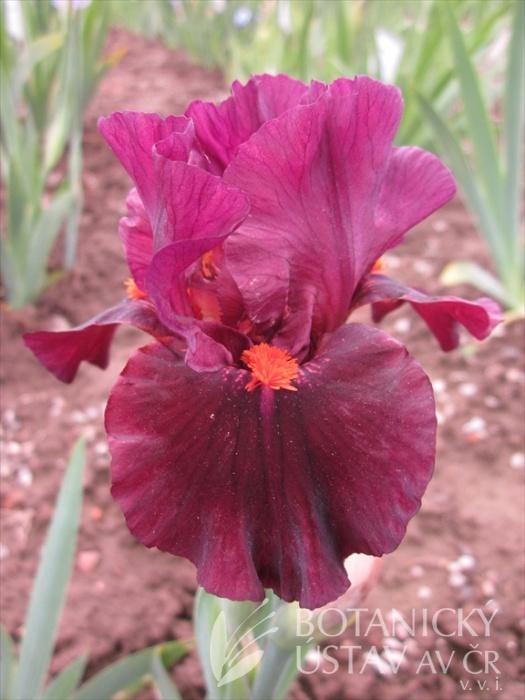 Iris barbata media Ruby Slippers