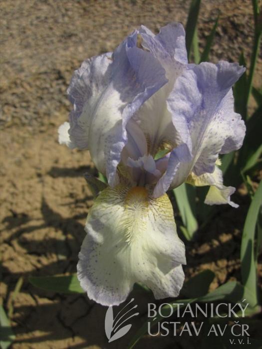 Iris barbata media Whitchee