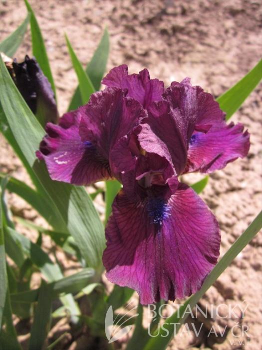 Iris barbata nana Spree
