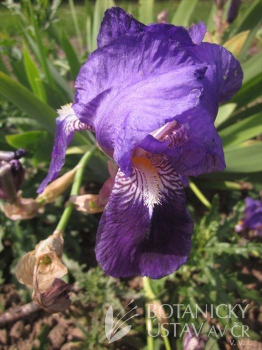 Iris germanica Spectabilis