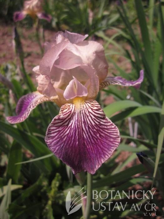 Iris barbata Waruna