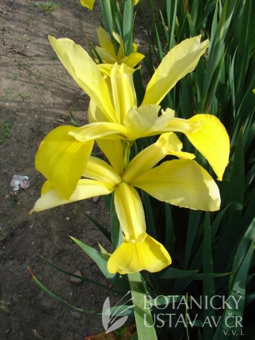Iris spuria Citronová pěna