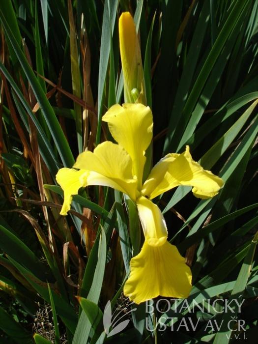 Iris spuria Limonáda