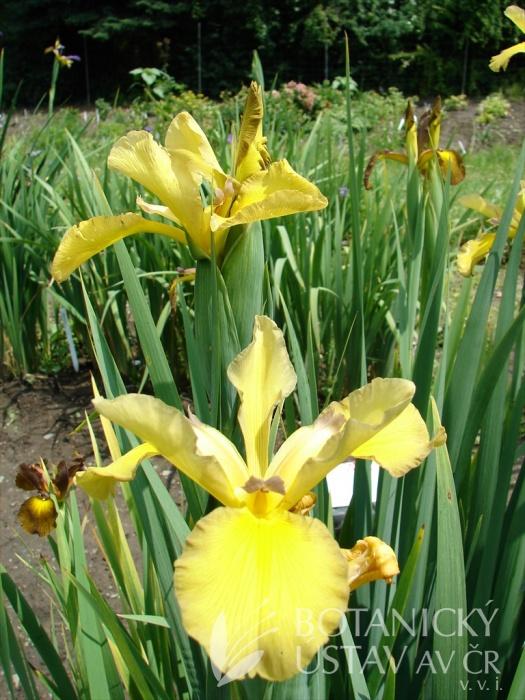 Iris spuria Medová cesta