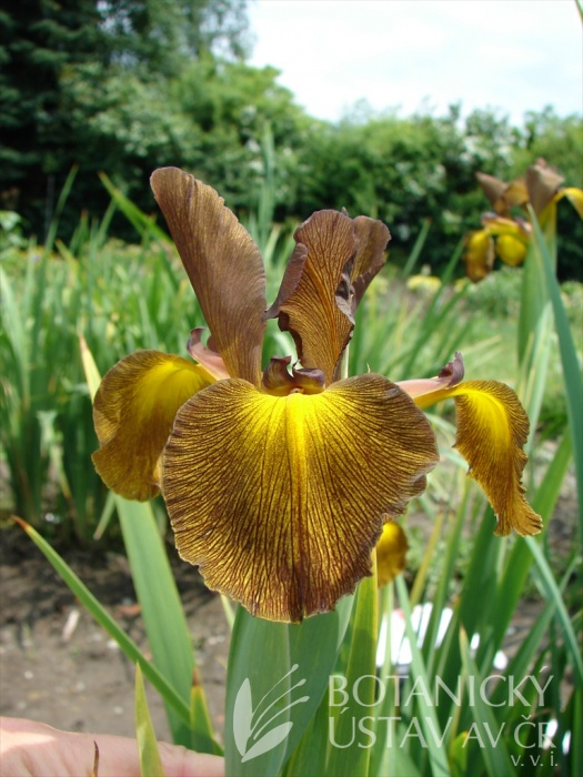 Iris spuria Medovník