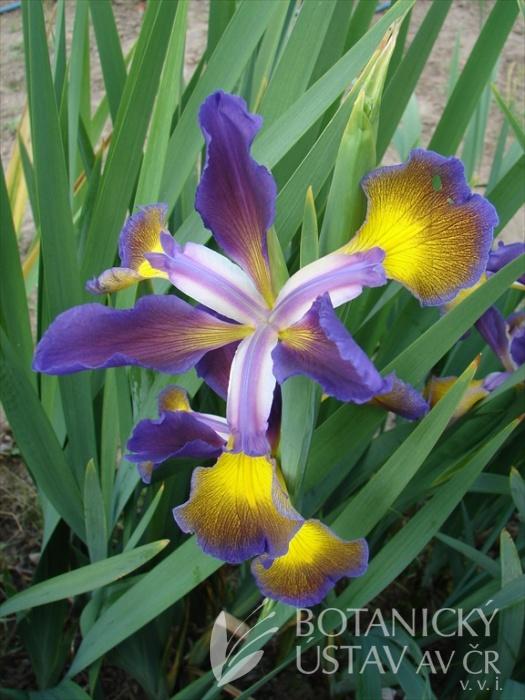 Iris spuria Modrá paleta
