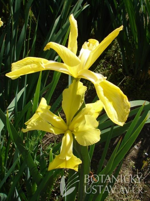 Iris spuria Sírový květ