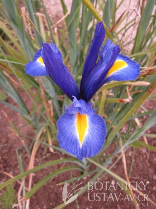 Iris x hollandica Rusty Beauty