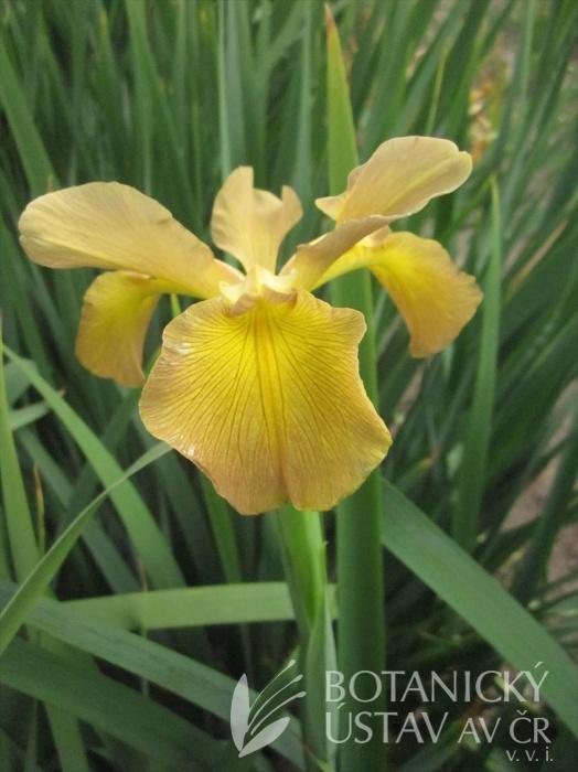 Iris spuria Medový pohár