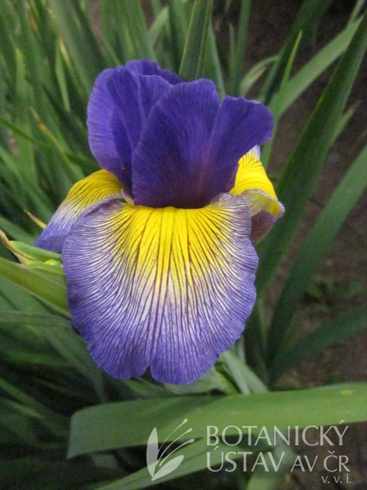 Iris spuria Neklid