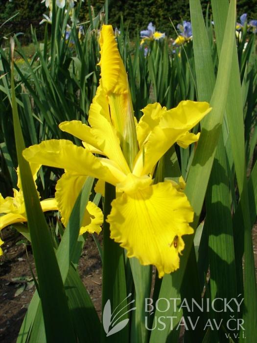 Iris spuria Princezna Pampeliška