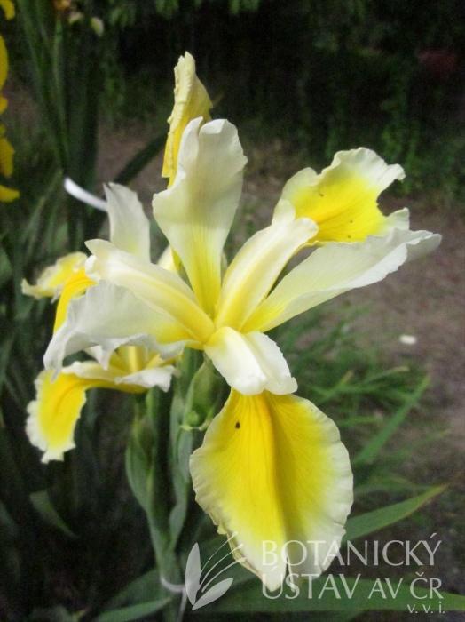 Iris spuria Smetana