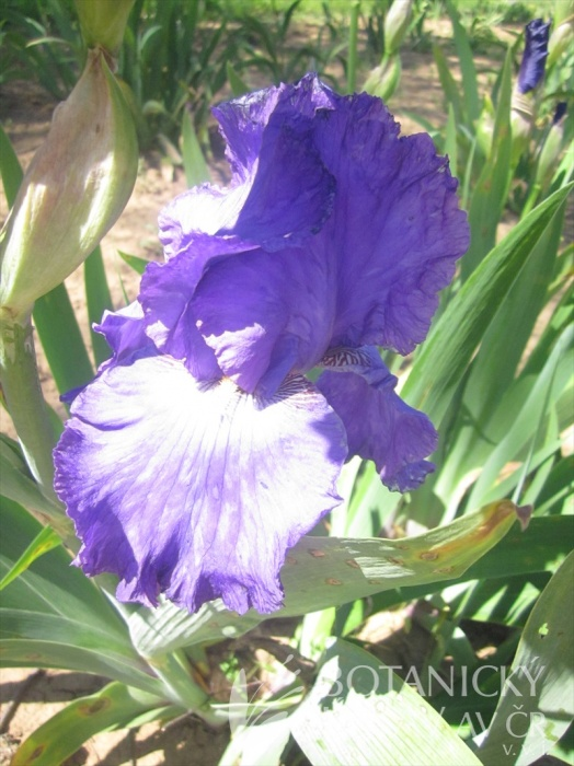 Iris barbata Sorrento