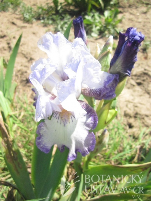 Iris barabata Spinning Wheel
