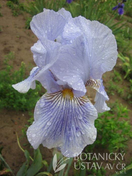 Iris barbata Striped Butterfly