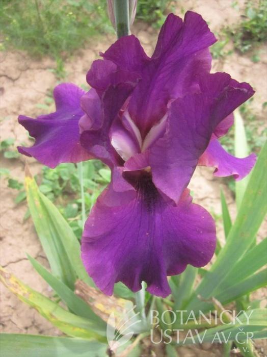 Iris barbata Thriller