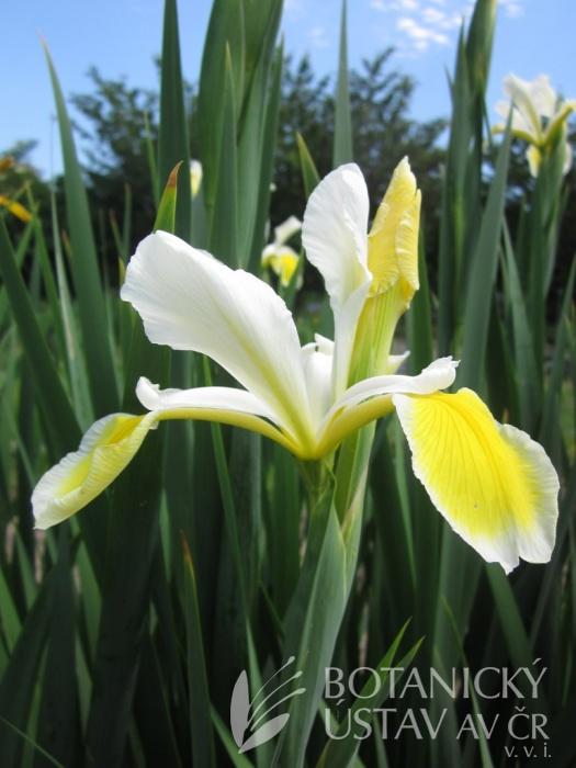 Iris spuria Velikonoce