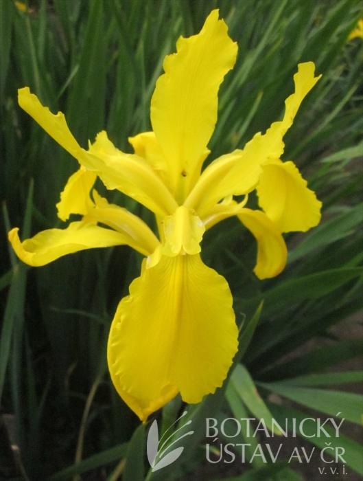 Iris spuria Žluťásek