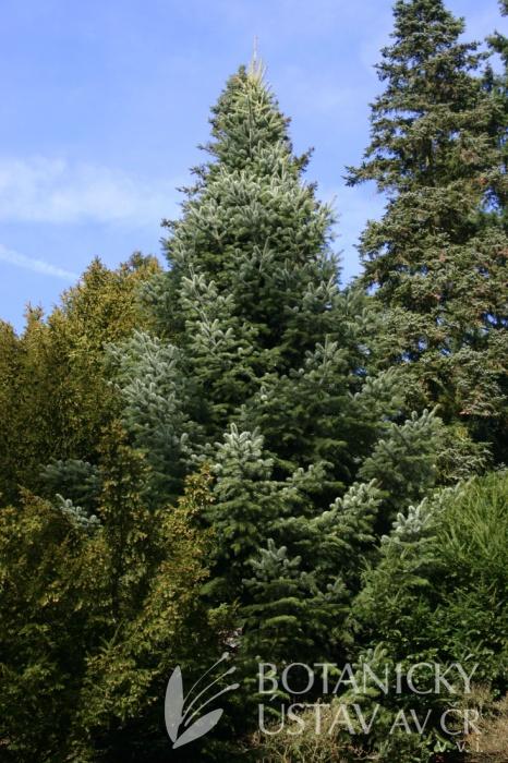 Abies cilicica - jedle cilicijská