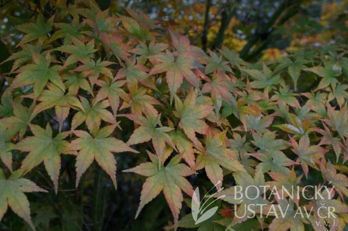 Acer palmatum 'Heptalobum' - javor dlanitolistý